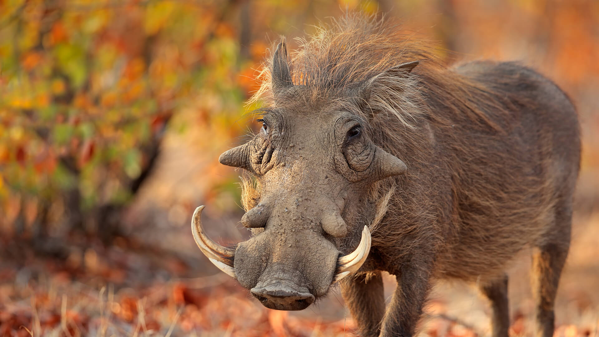 animals_hero_warthog
